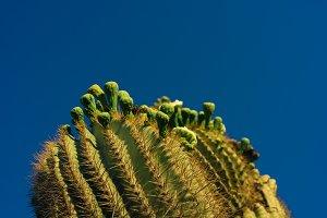 Saguaro Top