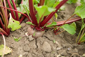 Organic beetroot on the farm