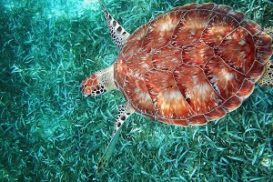Belize, scuba diving with turtles