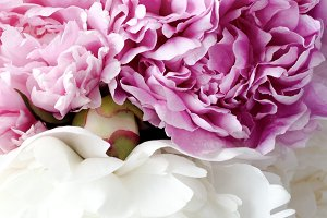 Close up of pink and white peonies