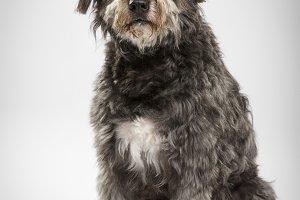 Studio portrait of an expressive catalan sheep dog