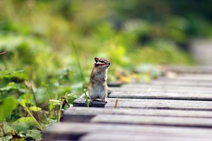 A curious Chipmunk in the Siberian nature reserve Stolby.
