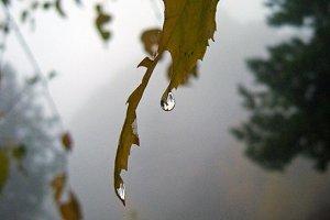Autumn leaf in the rain in the fog.