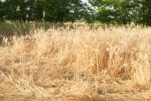 Crumpled wheat
