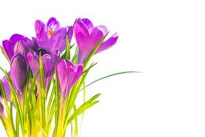 Bouquet of purple crocuses