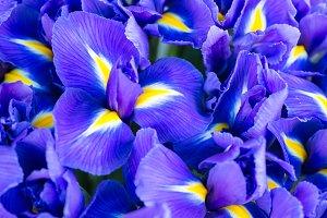 Blue flower irises