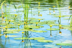 Water lily flowers in pond
