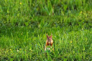 Ginger squirrel sits in green grass