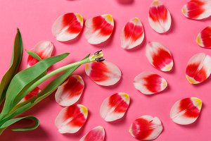 Feminine stylish mock up with tulip flower, petals. Copy space for your design, for weddings, invitations, blogs, cards. Overhead top view. Flat lay red petals, white tulip flower on pink background.