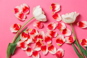 Feminine stylish mock up with tulip flower, petals. Copy space for your design, for weddings, invitations, blogs, cards. Overhead top view. Flat lay red petals, two white tulips on pink background.