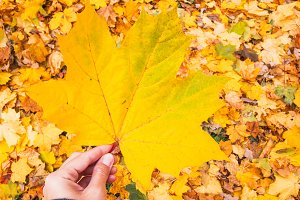 Yellow autumn maple leaf in hand