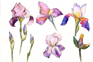 Gently purple irises PNG watercolor