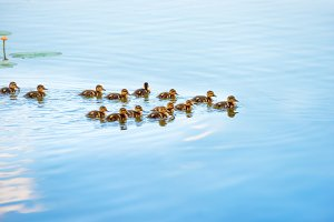 Duck family with many small duckling