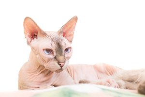 Lying purebred sphinx cat