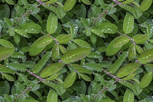 Seamless pattern texture of wet bush honeysuckle branch with green leaves