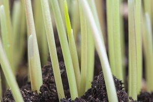 dense germinated grass