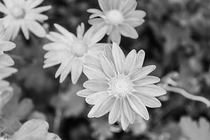 Daisies Background in Black White