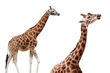Two giraffes in different positions