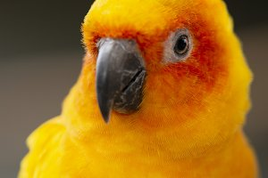 Close up of a Sun Conure parrot.