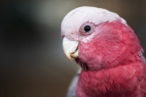 Large pink and grey Galah.