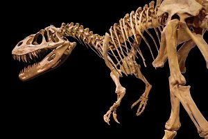 Dinosaur skeleton on black isolated