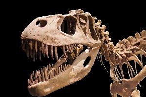 Tyrannosaurus Rex skeleton on black