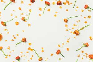 Flat-lay of orange buttercup flowers over white background
