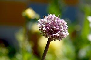 Purple leek blossom  in the garden
