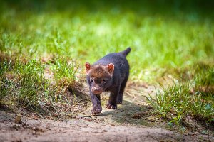 Portrait of a bush dog puppy