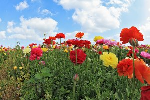 Beautiful blooming buttercups