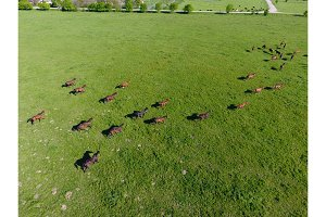 Grazing horses on the field. Shooting horses from quadrocopter. Pasture for horses.