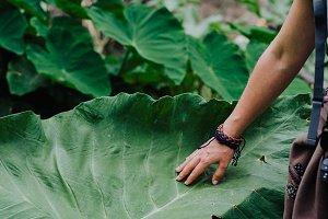 Female hand stroking touching huge lotus leaf