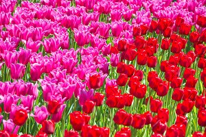 Many pink tulips flowers
