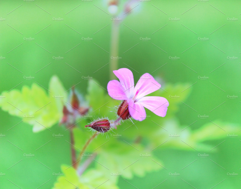Wild geranium flower pink flowers nature photos creative market mightylinksfo