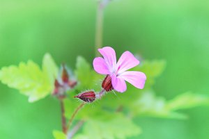 Wild geranium flower pink flowers