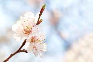 Blossoming white spring flowers