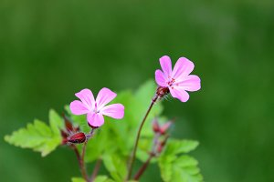 Wild Pink Geranium Close up
