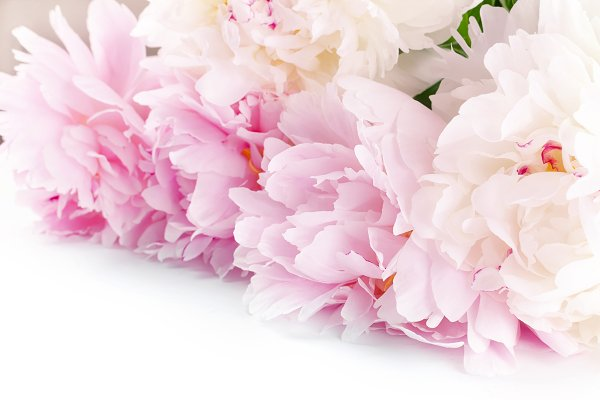 Stock Photos - white and pink peonies