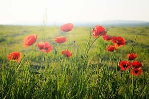 Poppy flowers on meadow in sunrise