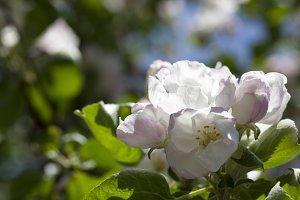 flowers of an apple
