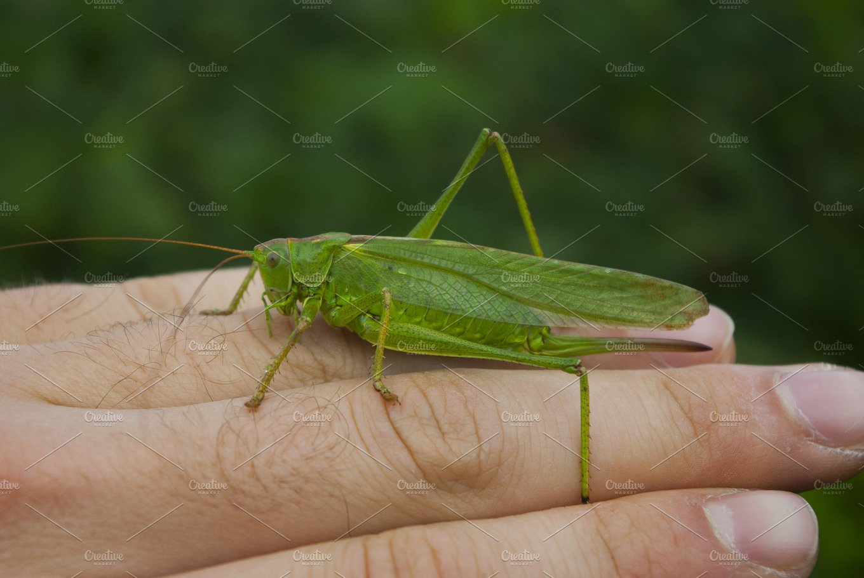 Huge green grasshopper on a hand ~ Nature Photos ...