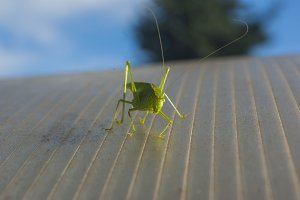 clumsy green grasshopper