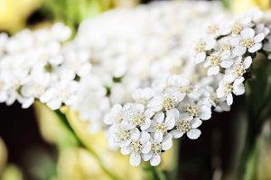 Tender white flowers of yarrow large