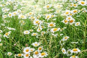Summer day green chamomile field