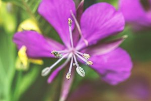 Flower willow-herb close up