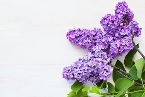 Lilac flowers on white background