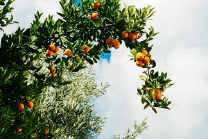 Orange tree fresh harvest time and sunny day blue sky outdoors natural background. Organic healthy freshness produce. Environment grow juicy fruits closeup view. Selective focus