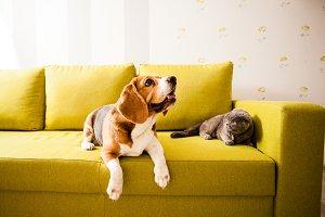 lying pets on the sofa