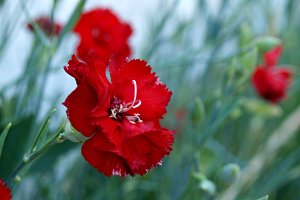 Red carnation at garden