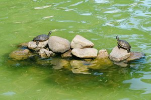 Two turtles on a pond in Cascais, Portugal
